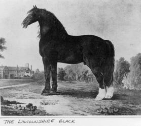 Lincolnshire Black